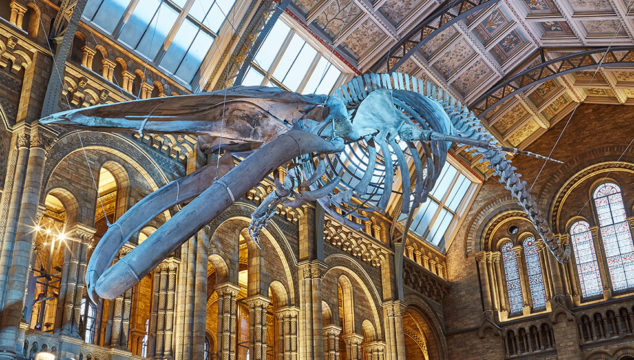 Natural History Museum: Dippy Departs – Say Hello to Hope the Blue Whale