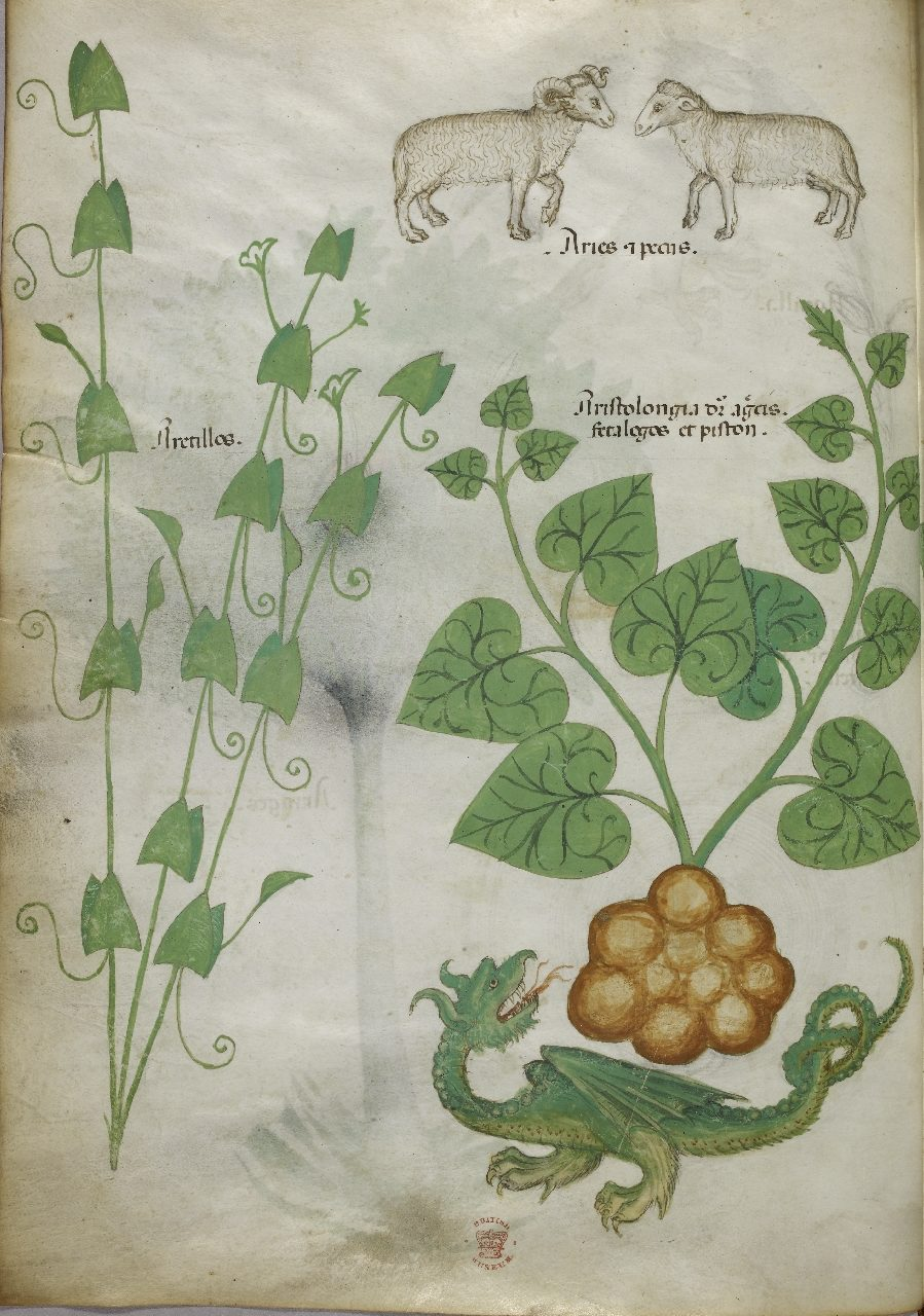 A dragon in a 15th-century herbal (c) British Library