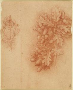 Leonardo da Vinci, Oak (Quercus robur) and dyer's greenweed (Genista tinctoria), c.1505/10