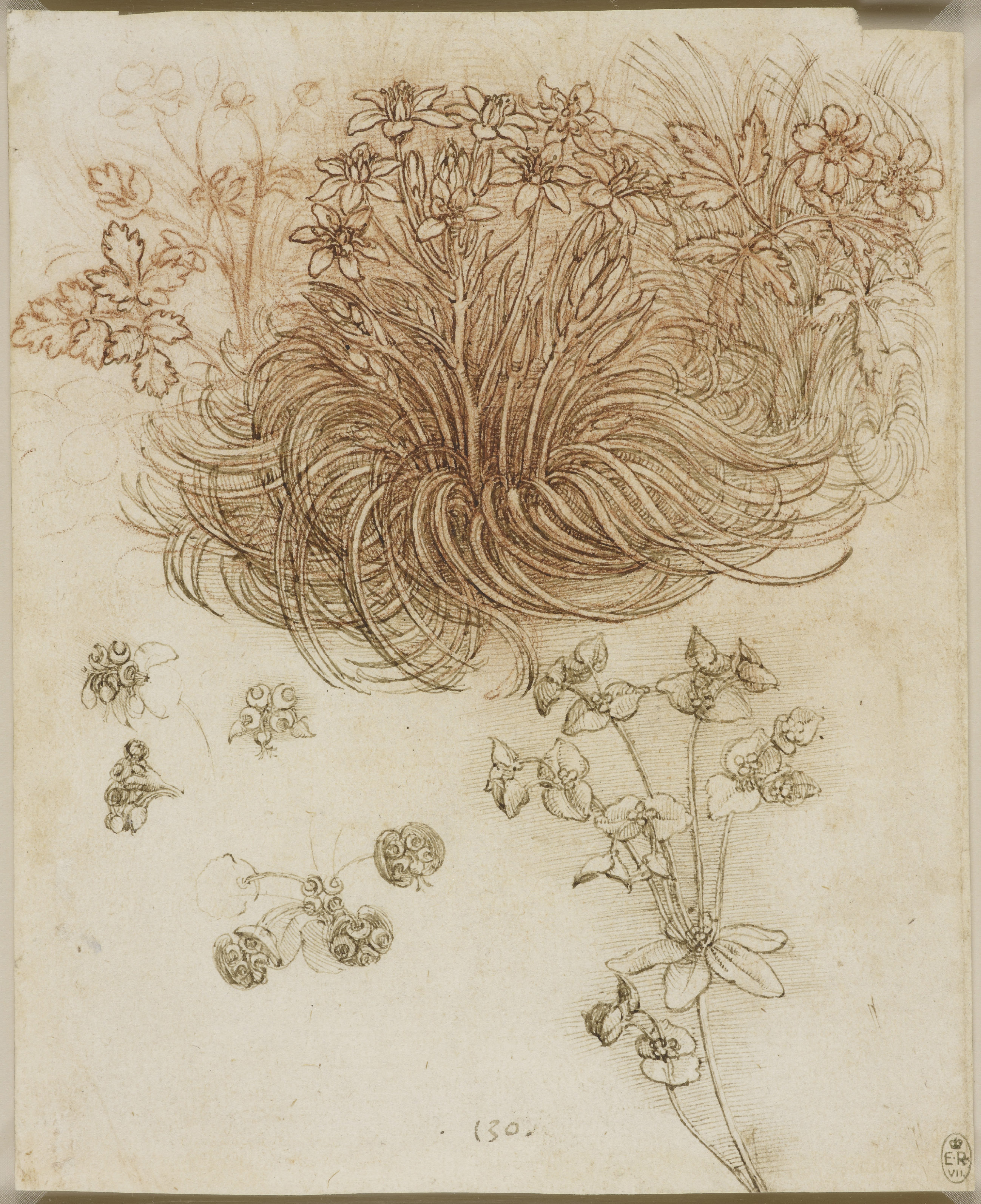 Leonardo da Vinci, A star-of-Bethlehem and other plants, c.1506-12.
