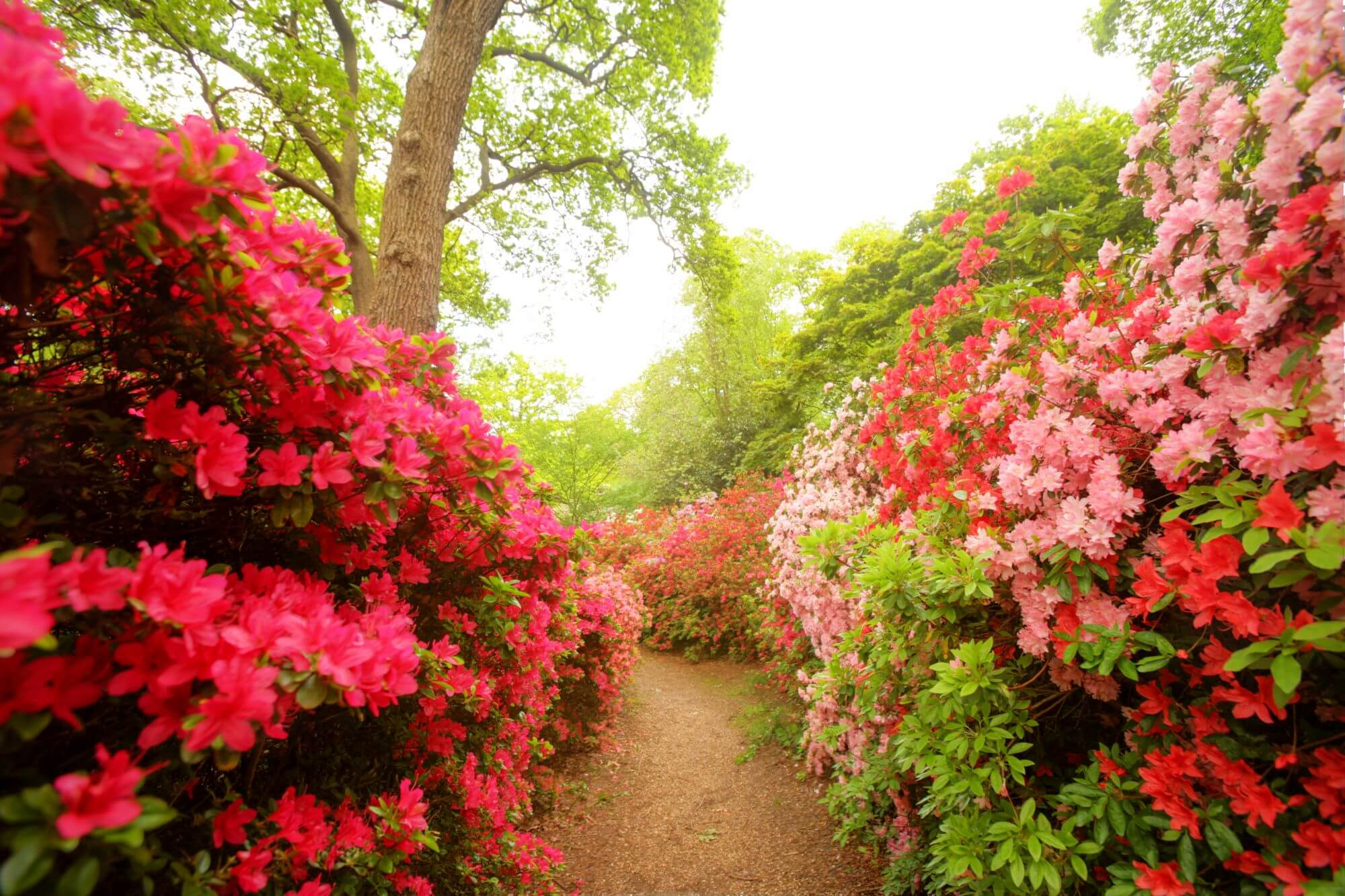 Rhododendrons in Isabella Plantation, Richmond Park.